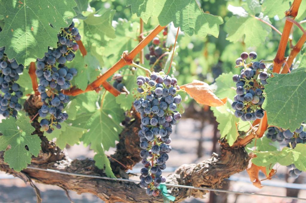 Darioush Winery, Winery, Napa outfit, Napa Valley, landscape photography, wine tasting, grapes